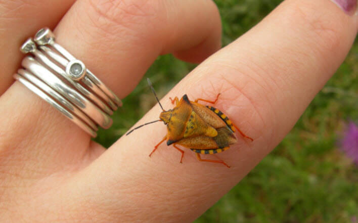 масштаб насекомого