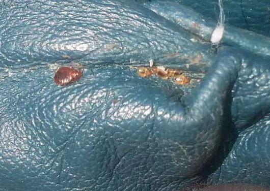 кожаный диван с клопами