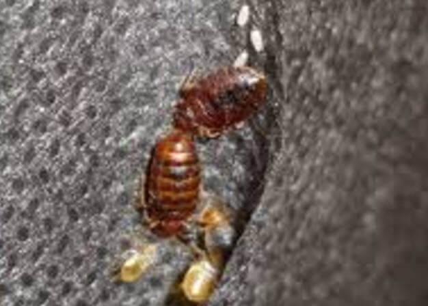 Клопы и их личинки на ткани