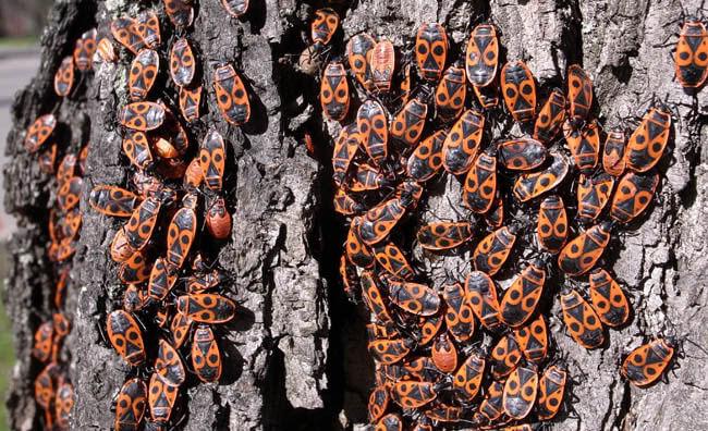 Колония клопов солдатиков на дереве