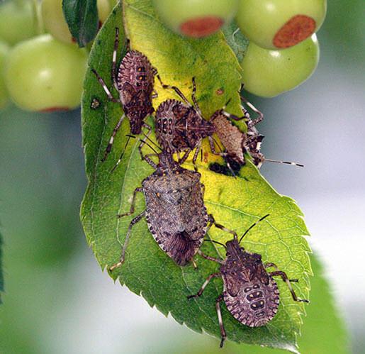 Растения увядают от яда клопа